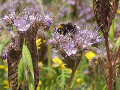 Meerjarig Bijenmengsel inheems 1kg